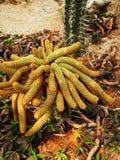 Tubular cactus Stock Photos