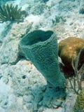 tubular havssvamp Arkivbilder
