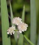 Tubular Water-dropwort. Or Water Lovage - Oenanthe fistulosa Royalty Free Stock Photos