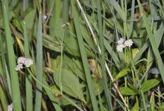 Tubular Water-dropwort. Or Water Lovage - Oenanthe fistulosa Royalty Free Stock Image