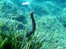 Tubulosa overzeese van Holothuria komkommer Stock Foto
