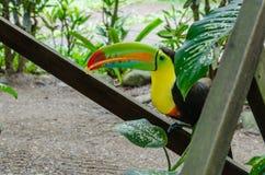 Tucán cargado en cuenta quilla que sostiene la comida en Costa Rica Foto de archivo