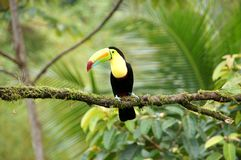 Tucán - Costa Rica America fotografía de archivo libre de regalías