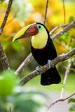Tucán en Costa Rica Fotos de archivo