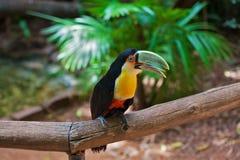 Tucán en el suramericano Foto de archivo libre de regalías