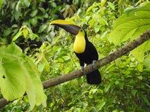 Tucán en la selva en Costa Rica Fotografía de archivo libre de regalías