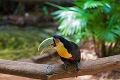 Tucán en parque zoológico americano Foto de archivo libre de regalías