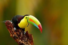tucán Quilla-cargado en cuenta, sulfuratus de Ramphastos, pájaro con la cuenta grande Tucán que se sienta en la rama en el bosque Foto de archivo