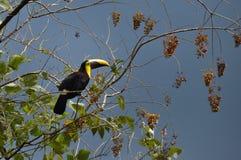 Tucán verde en Osa Peninsula, Costa Rica imagen de archivo libre de regalías