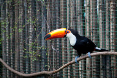 Tucan Royalty Free Stock Photography