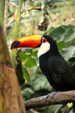 Tucan Royalty Free Stock Image