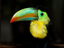 Tucan Royalty Free Stock Photos