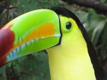 tucan Стоковое Изображение