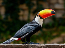 Tucan Photos stock