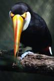 tucan Royaltyfri Bild
