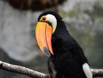 Tucan with big peak in the zoo. Tucan with big peak with beautiful colors in the zoo royalty free stock photos
