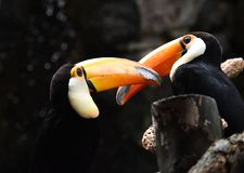 Tucan with big peak in the zoo. Tucan with big peak with beautiful colors in the zoo royalty free stock photo