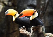 Tucan with big peak in the zoo. Tucan with big peak with beautiful colors in the zoo royalty free stock photography