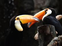 Tucan with big peak in the zoo. Tucan with big peak with beautiful colors in the zoo stock images