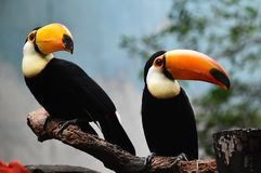 Tucan with big peak in the zoo. Tucan with big peak with beautiful colors in the zoo royalty free stock image