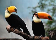 Tucan with big peak in the zoo. Tucan with big peak with beautiful colors in the zoo stock photography