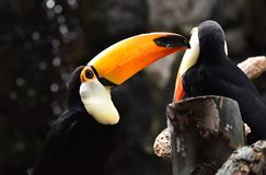 Tucan with big peak in the zoo. Tucan with big peak with beautiful colors in the zoo stock image