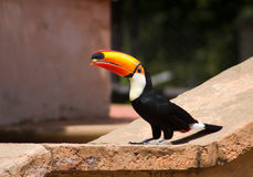Tucan bird eating a nut Stock Image