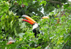 Tucan bird among green leaves Royalty Free Stock Images