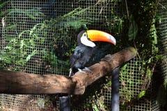 A Tucan bird of the jungle. Tucan bird of the Misiones jungle, Brazil stock image