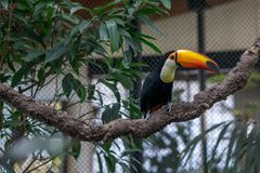 Tucan on a branch in an aviary. An adult Tucan on a branch in a tropical aviary or zoo stock image