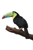 Tucan coloré images stock