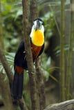Tucan colorido y hermoso Imagen de archivo