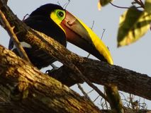 Tucan. CostaRica aves birds stock images