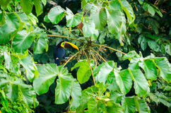 Tucan, das auf einen Baumast geht Lizenzfreie Stockfotografie