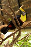 Tucan. Entire body black and yellow Tucan in Costa Rica royalty free stock image