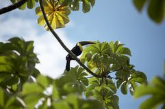 Tucan in green leaves and tree. A tucan sitting in a tree in Costa Rica royalty free stock photography
