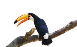 Tucan Royalty Free Stock Photo