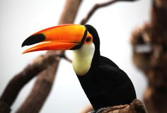 A tucan sitting on a branch. A tucan with its big orange beak sitting on a branch stock photos