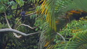 Tucan jumps from one tree to another. A tucan jumps between tree branches in a forest in Costa Rica. Palm leaves in the foreground stock video footage