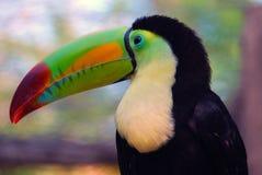 tucan mexikan Fotografering för Bildbyråer