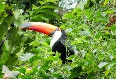 Tucan na zielonym drzewie Fotografia Royalty Free