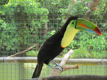 Tucan Stock Photos