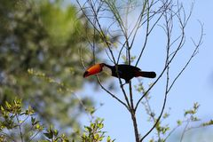 Tucan sitting on a branch Stock Photos