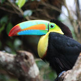 Tucan Toucan Fotografie Stock Libere da Diritti