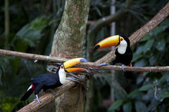 Tucan Stock Images