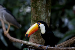 Tucan Stock Photography