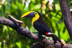 Tucan yellow chest. Bird of great yellow beak with black, as well as its plumage. Choco toucan Ramphastos Brevis stock photo