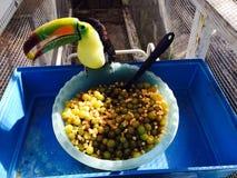 Tucano adorável com bacia de fruto Imagens de Stock Royalty Free