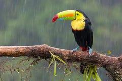 Tucano appollaiato sul ramo Foresta di Costa Rica Immagini Stock Libere da Diritti