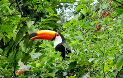 Tucano bird among green leaves. Tucano bird with a big yellow beak, sitting on a tree branch in forest, green leaves on the background. Tropics, tropical fauna Royalty Free Stock Photography